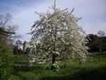 site-cerisier-150